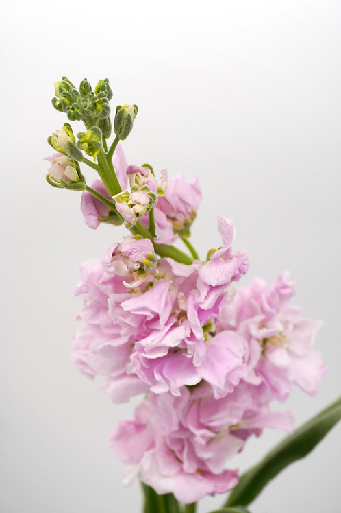 Stock Flowers- Pink