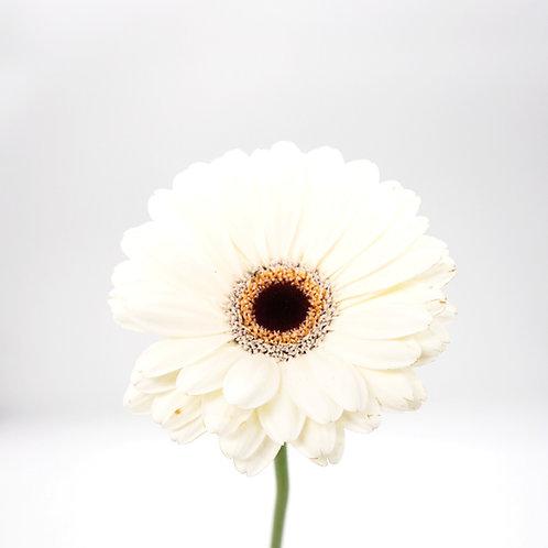 Mini Gerbera- White