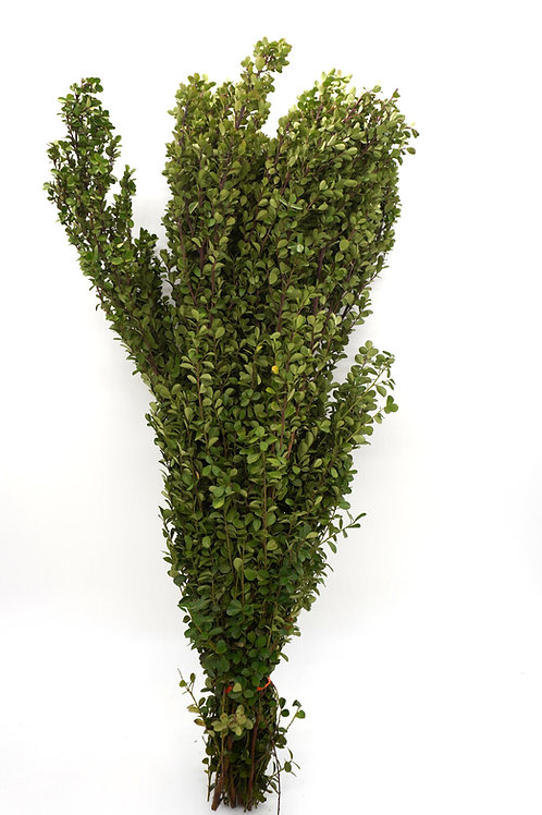 African Boxwood