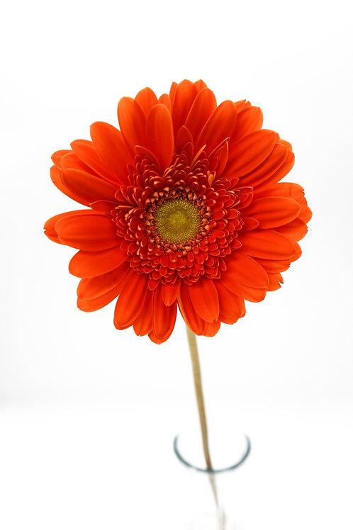 Light Eye Gerbera- Orange