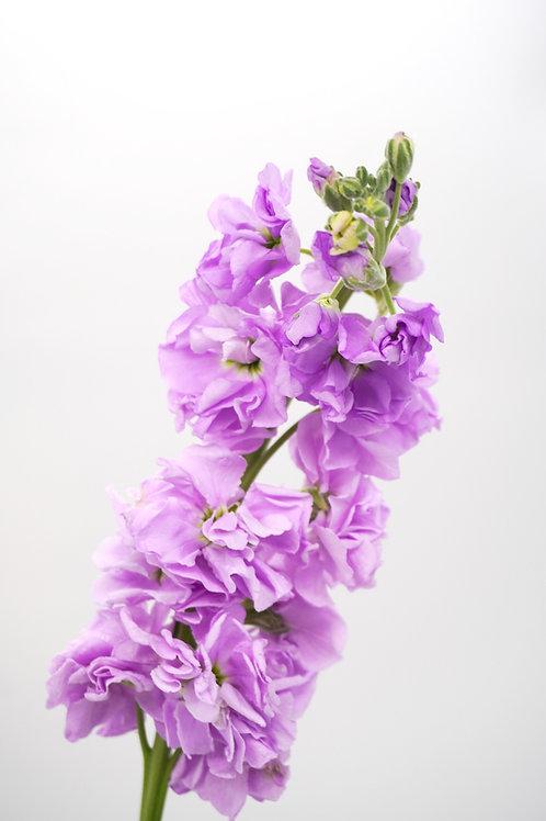 Stock Flowers- Lavender