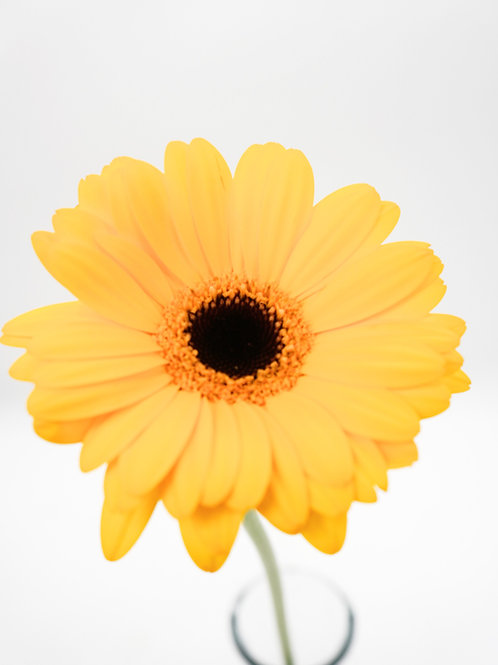 Mini Gerbera- Yellow