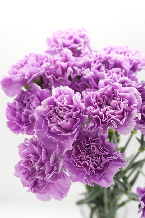 Moon Carnations- Moonlite