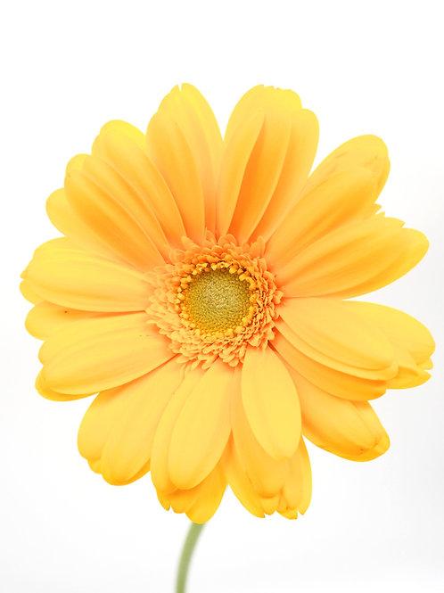 Light Eye Gerbera- Yellow