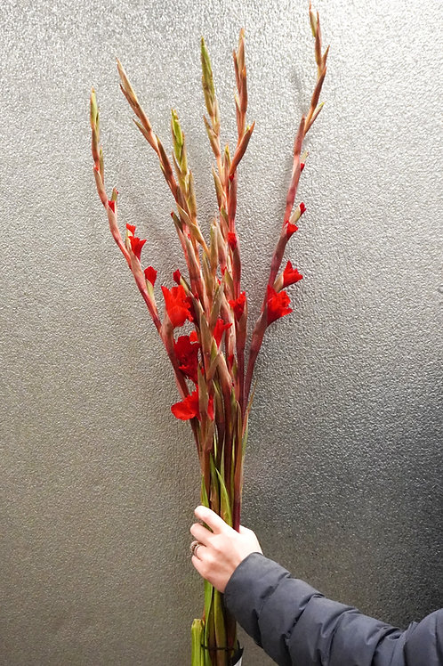 Gladiola- Red