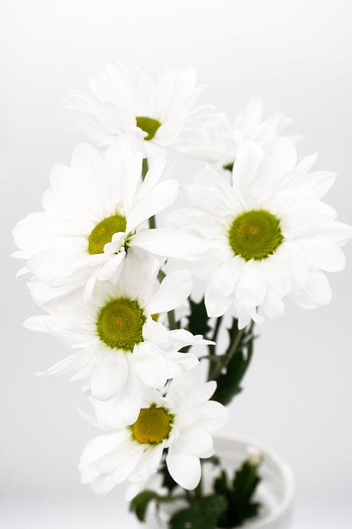 Daisy- White