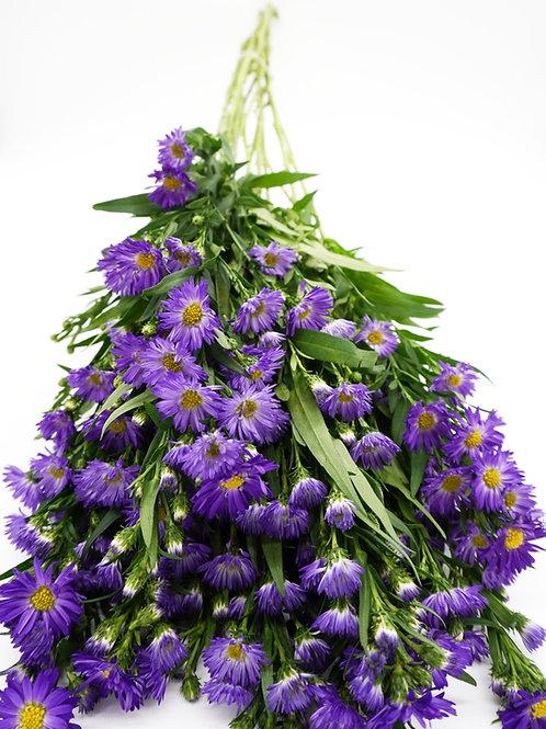 Novi- Purple