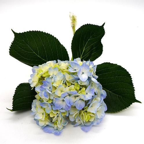 Hydrangea- Specialty Blue