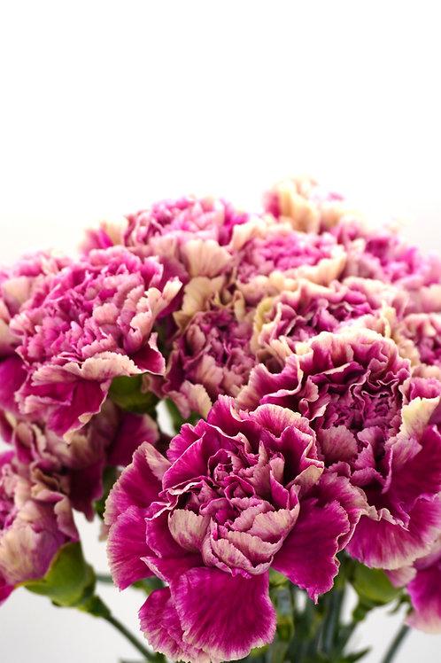 Carnation Bi-Color
