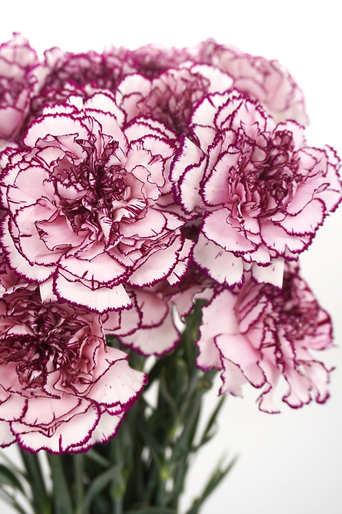 Antique Carnation- Purple
