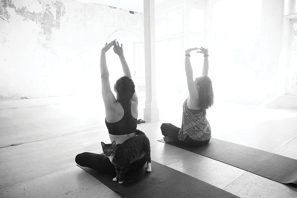 2 women do yoga on mats in large open room with wooden floor and large front window a cat wraps around one of the women in pose