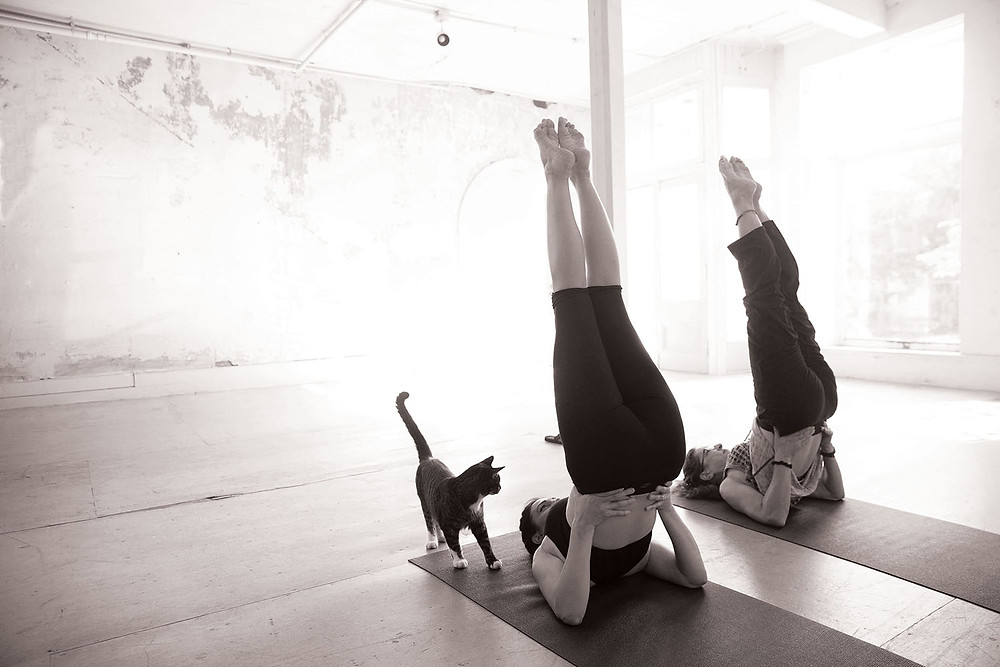cat watches 2 women in yoga pose with feet in the air on mats in large open room with wooden floor and large front windows
