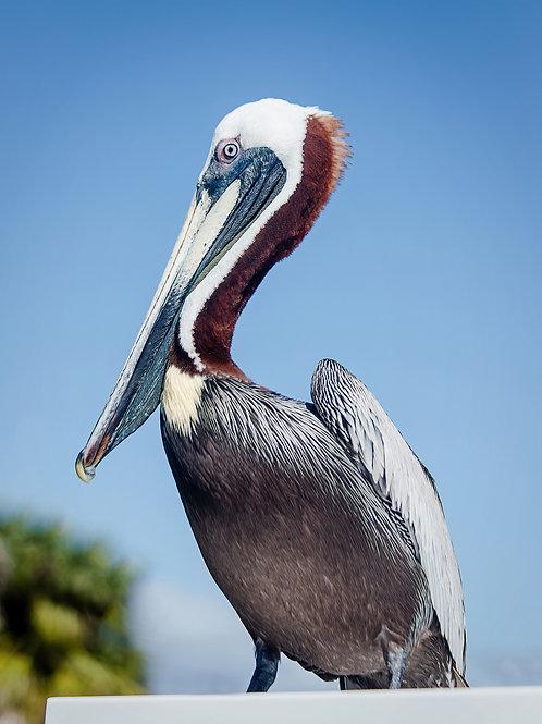 Blue Posing Pelican