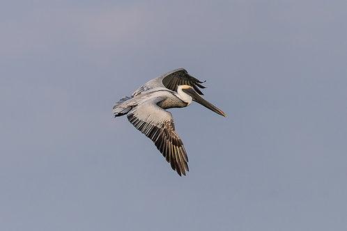 Blue Flying Pelican