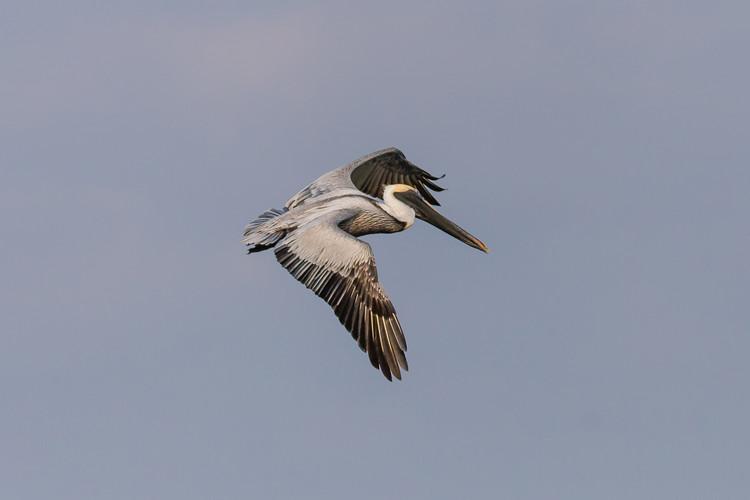 Venice flying pelican