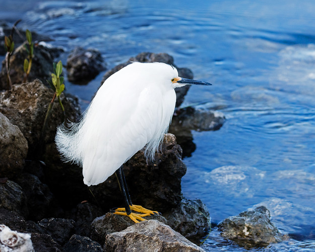 Cold Snowy Egret