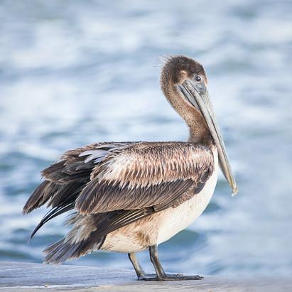 Punta Rassa pelican