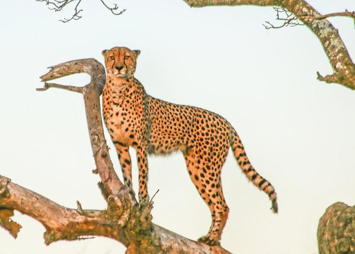 Zulu Cheetah