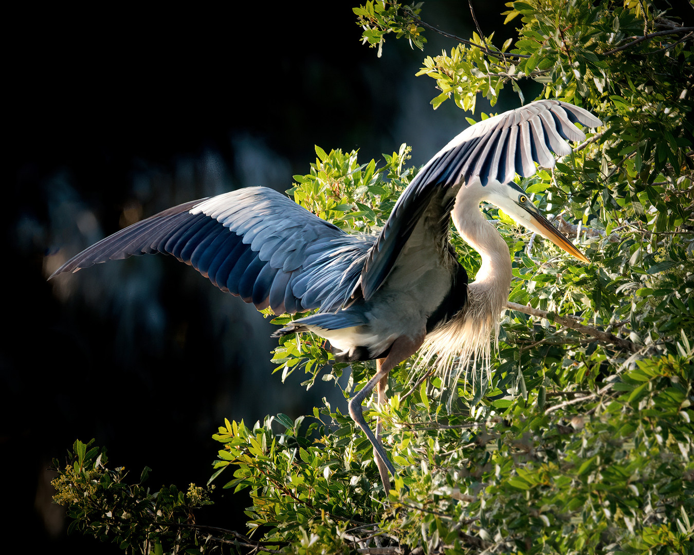 Blue Heron Wings