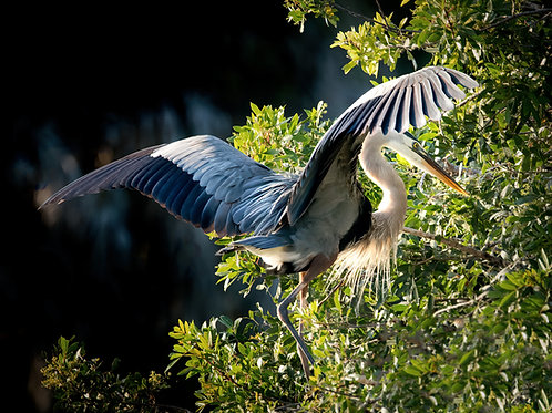 Great Blue Heron Wings