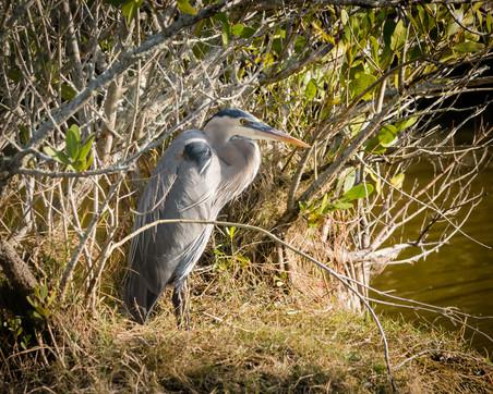 Merritt Island Great Blue Heron