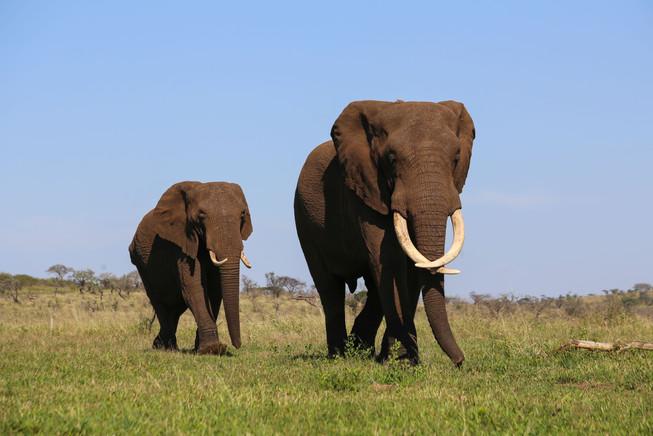 Bayete Elephants