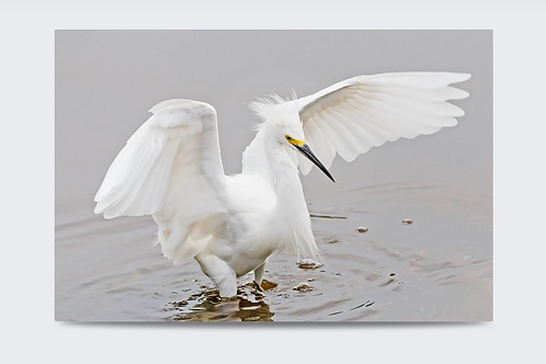 Wading Snowy Egret 36 x 24