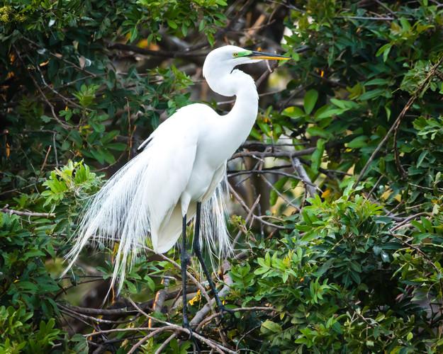 Beautiful Great Egret