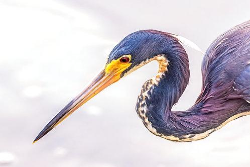 Profile of a Tri-Colored Heron
