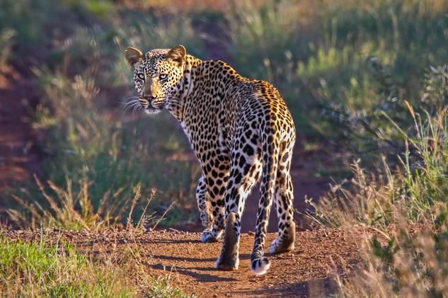 Elusive Leopard