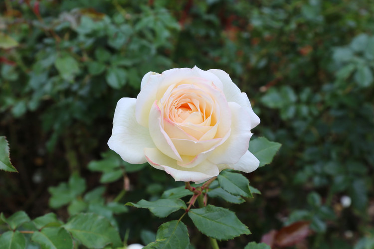 Argentinian White Rose