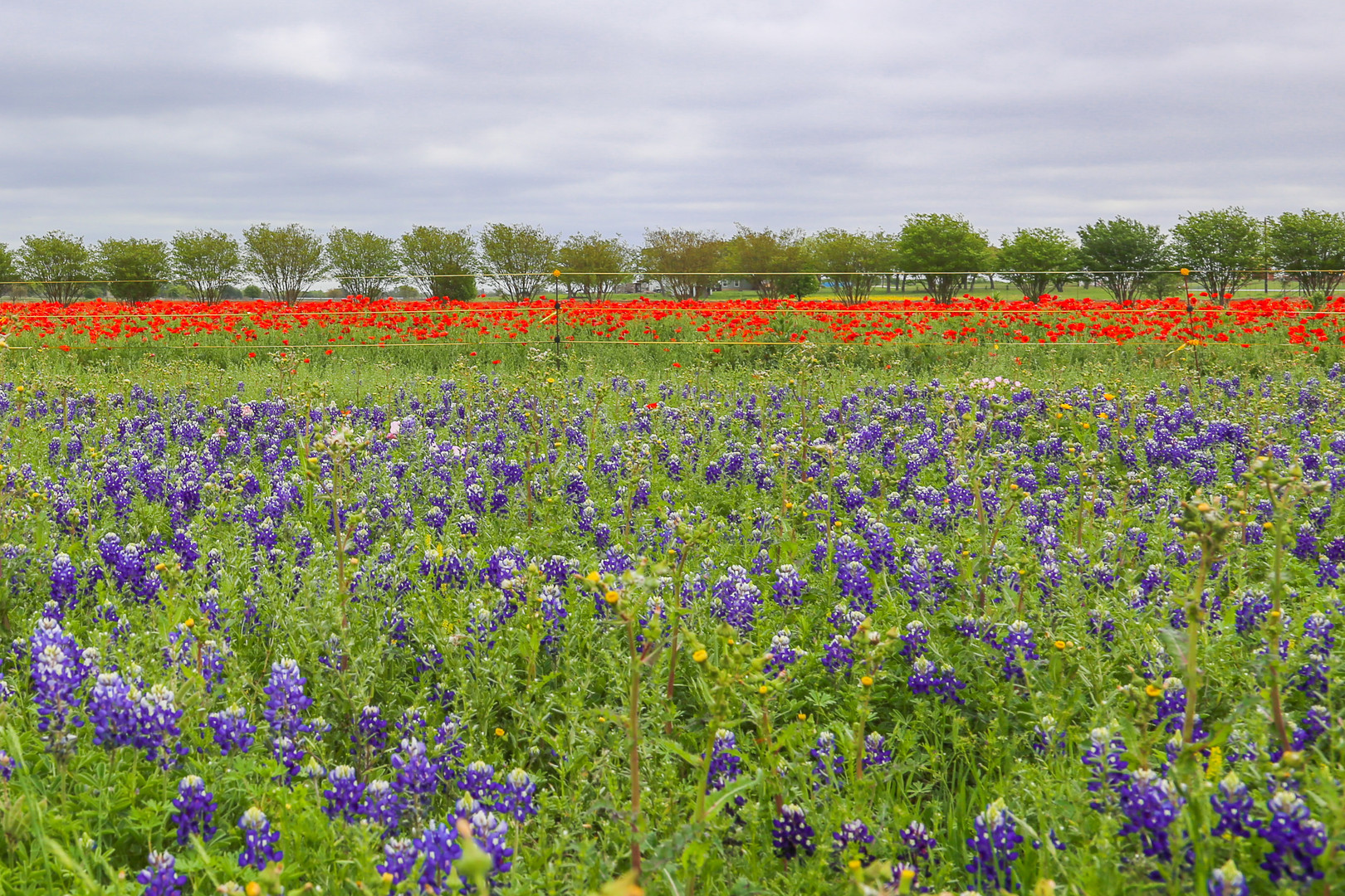 Bluebonnets and Poppies