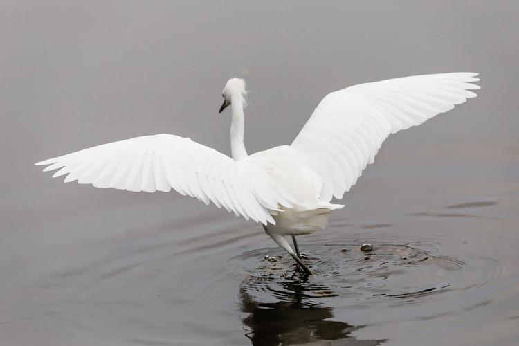 Snowy Egret Wingspan