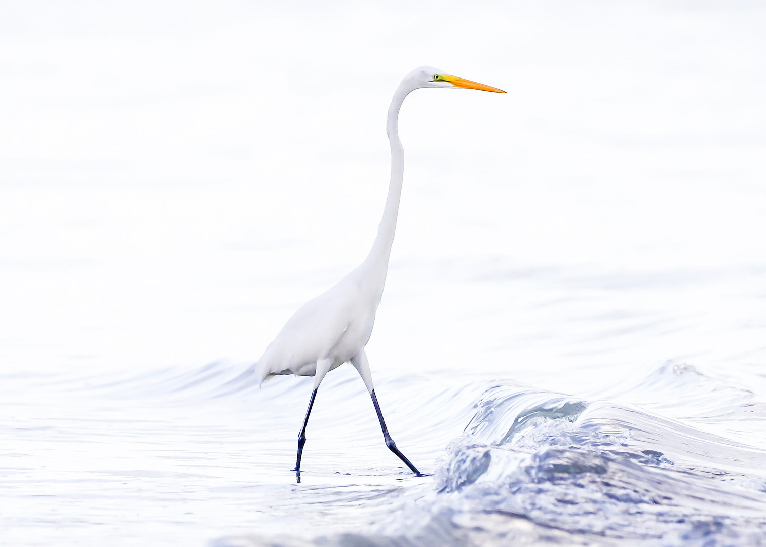 Sanibel White Heron