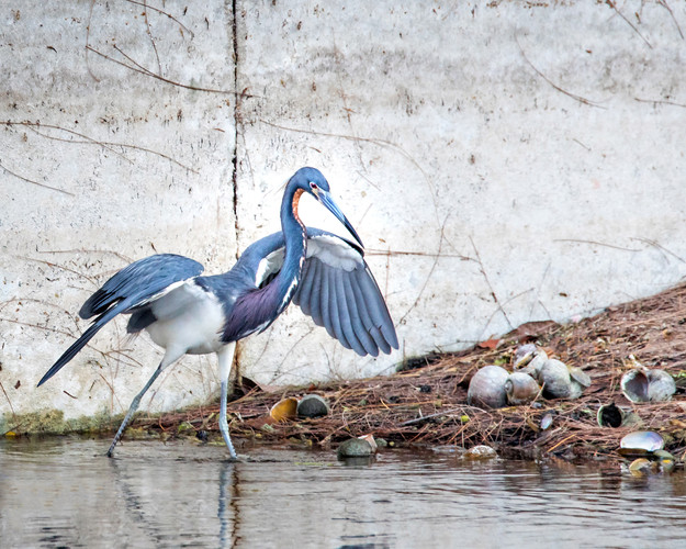 Blue Heron and apple snail shells