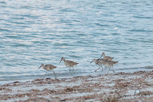 Sanibel Sandpipers