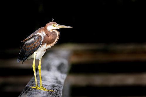 Juvenile Tri-Colored Heron