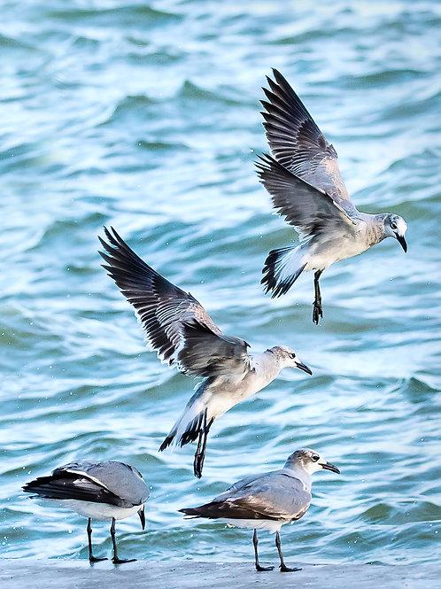 Punta Rassa Sea Gulls