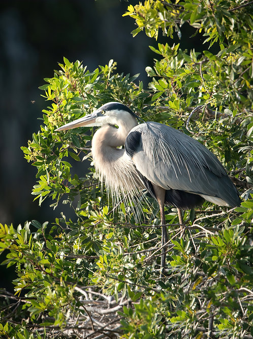 Great Blue Heron and a Bee