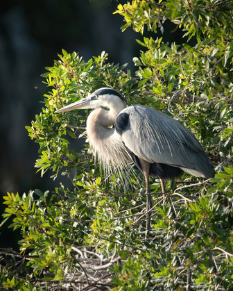 Blue Heron and a bee