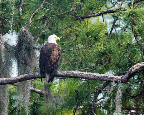 Pine Island Eagle