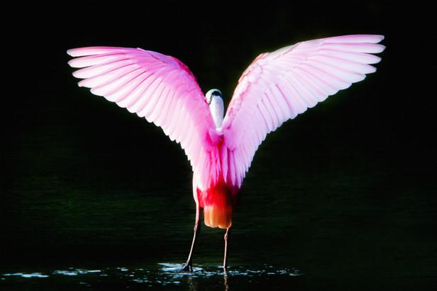 Pink Flasher