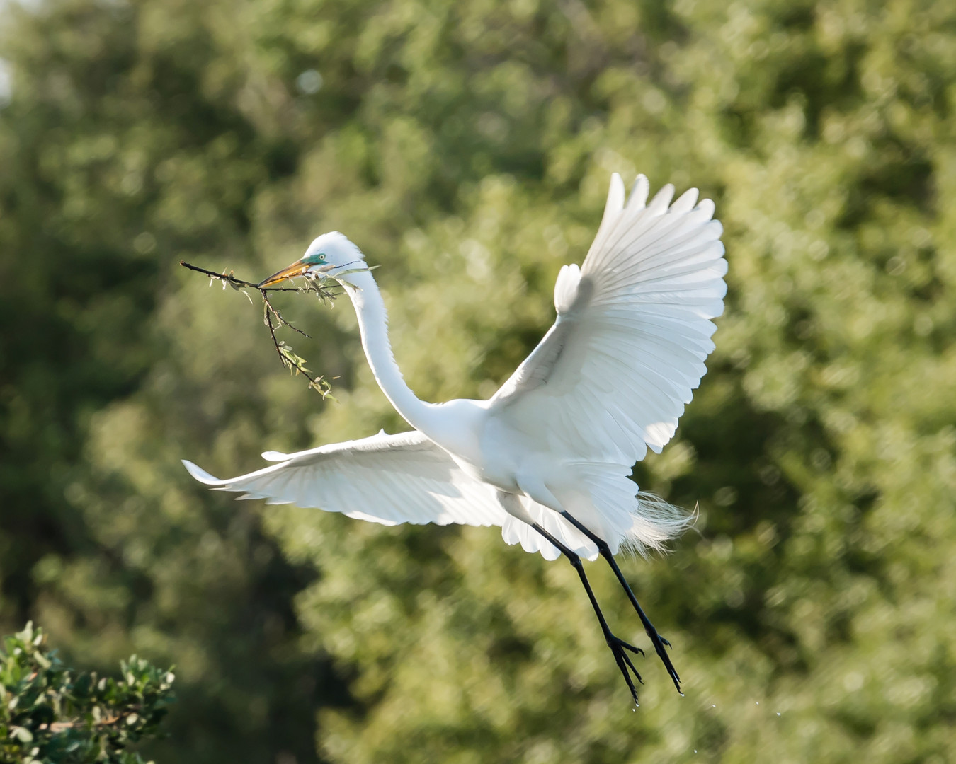 Great Egret with stick 2