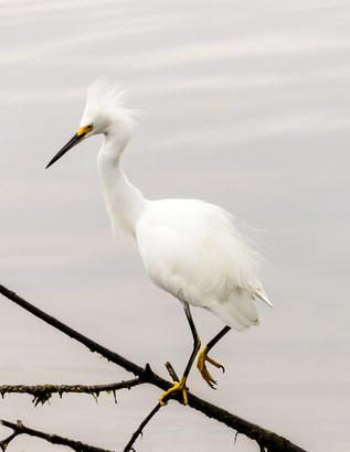 Standing Snowy Egret