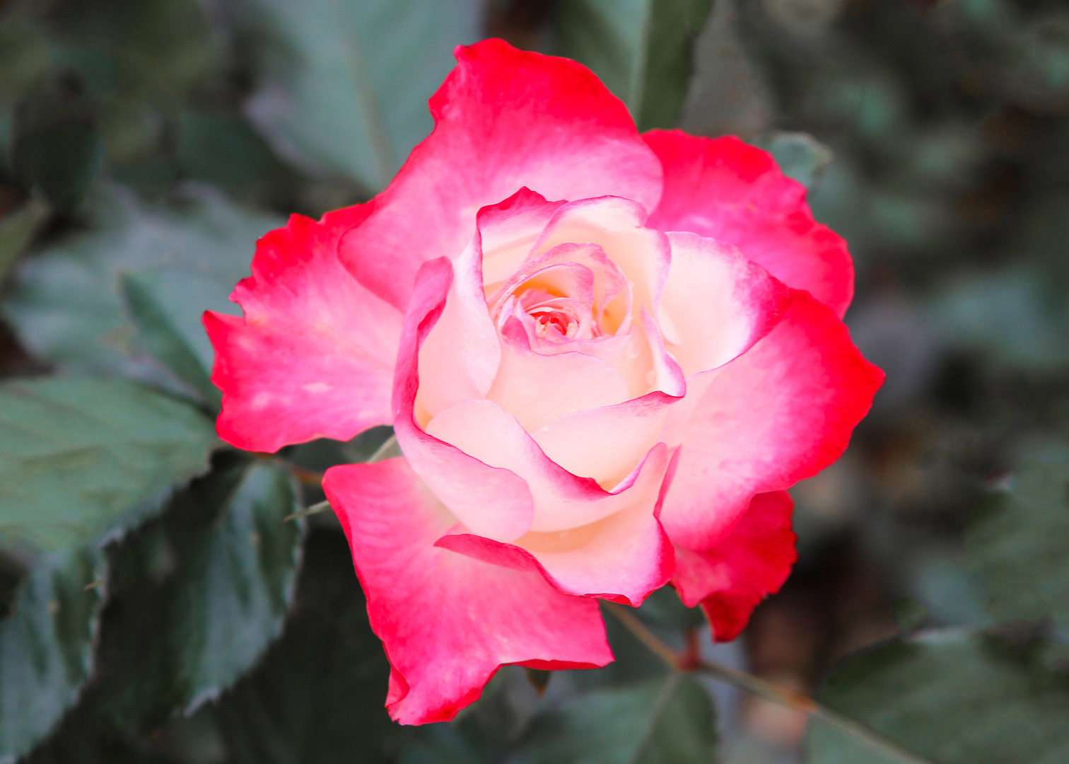 Argentinian Pink Rose