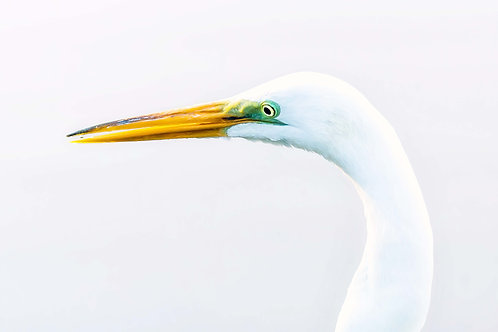 Handsome Egret