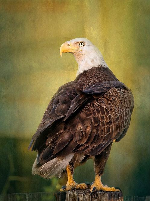 Bald Eagle in St. James City