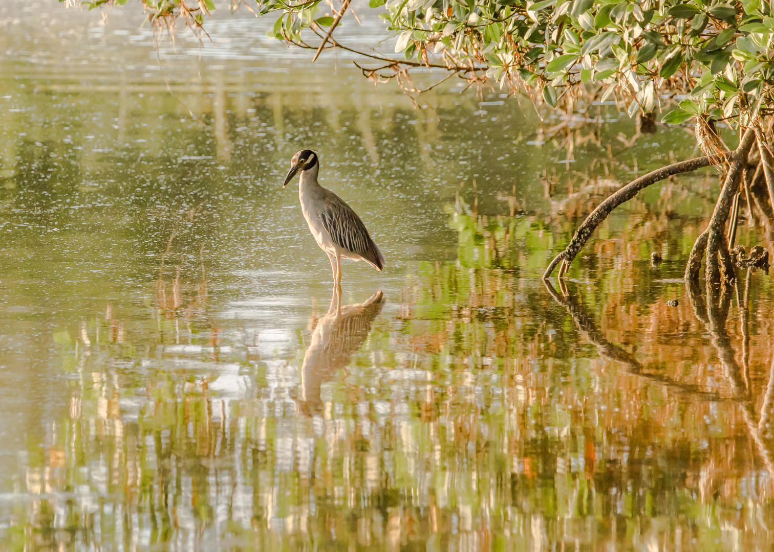 Yellow Night Crowned Heron