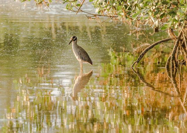 Yellow Night Crowned Heron