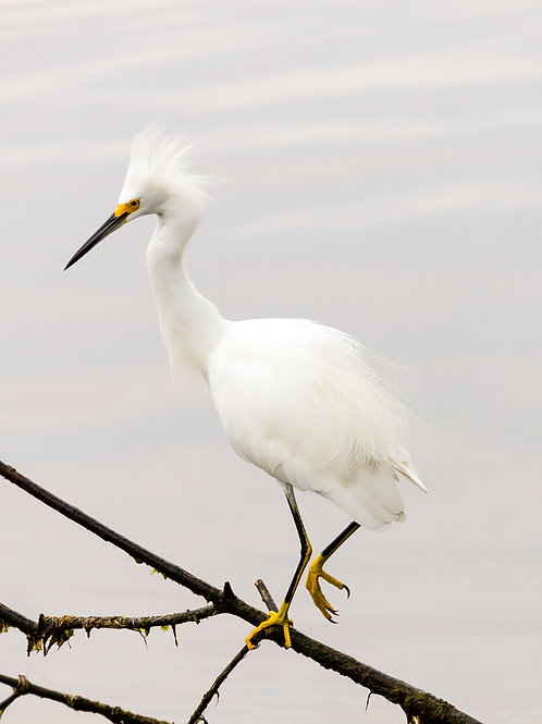 Standing Snow Egret